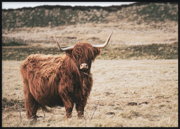 Highland Cattle Alone Poster